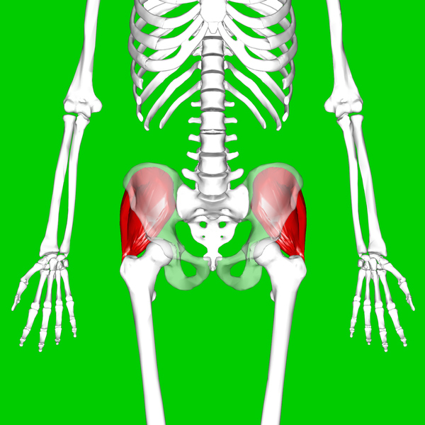 The gluteus medius are shown in red